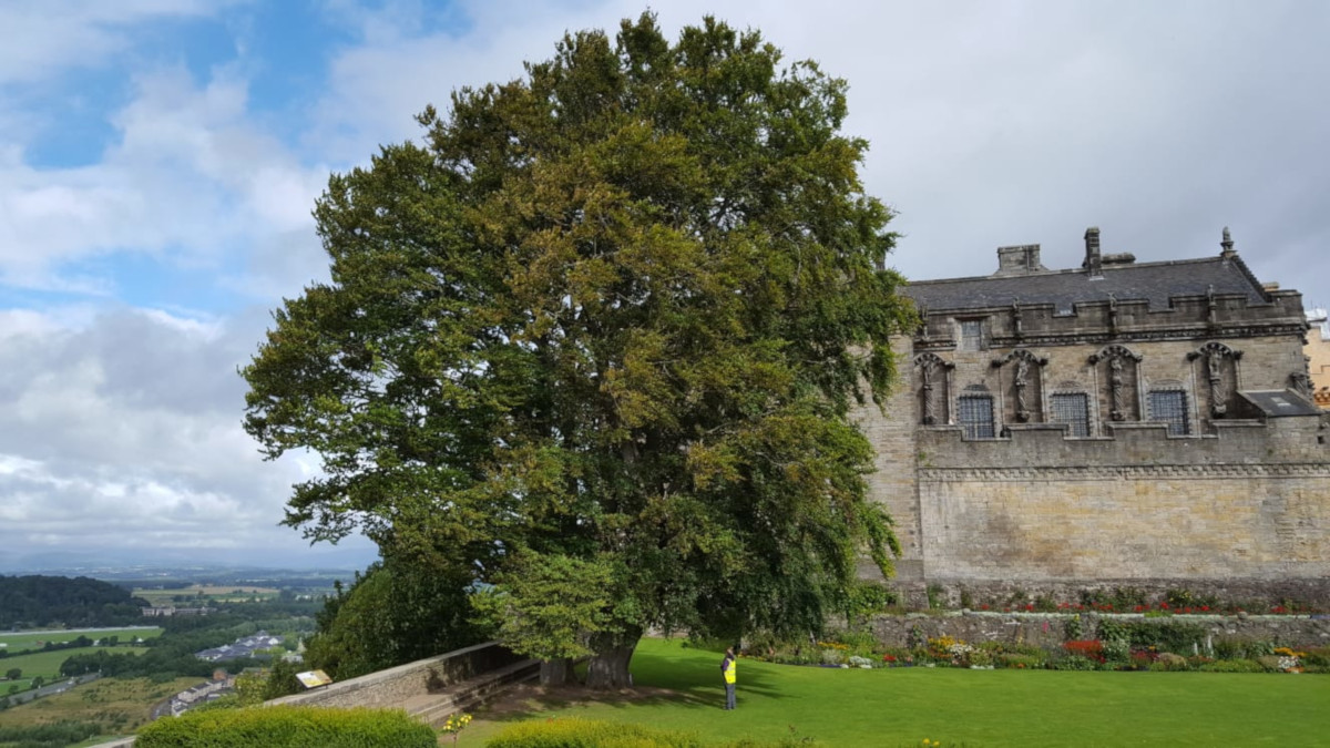 Common Beech in Queen Anne Gardens, Stirling Castle