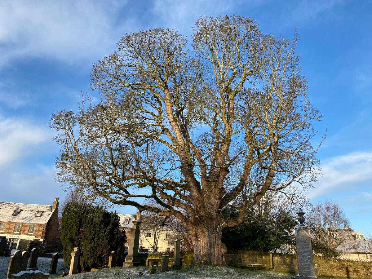 Beauly Sycamore, Beauly Priory