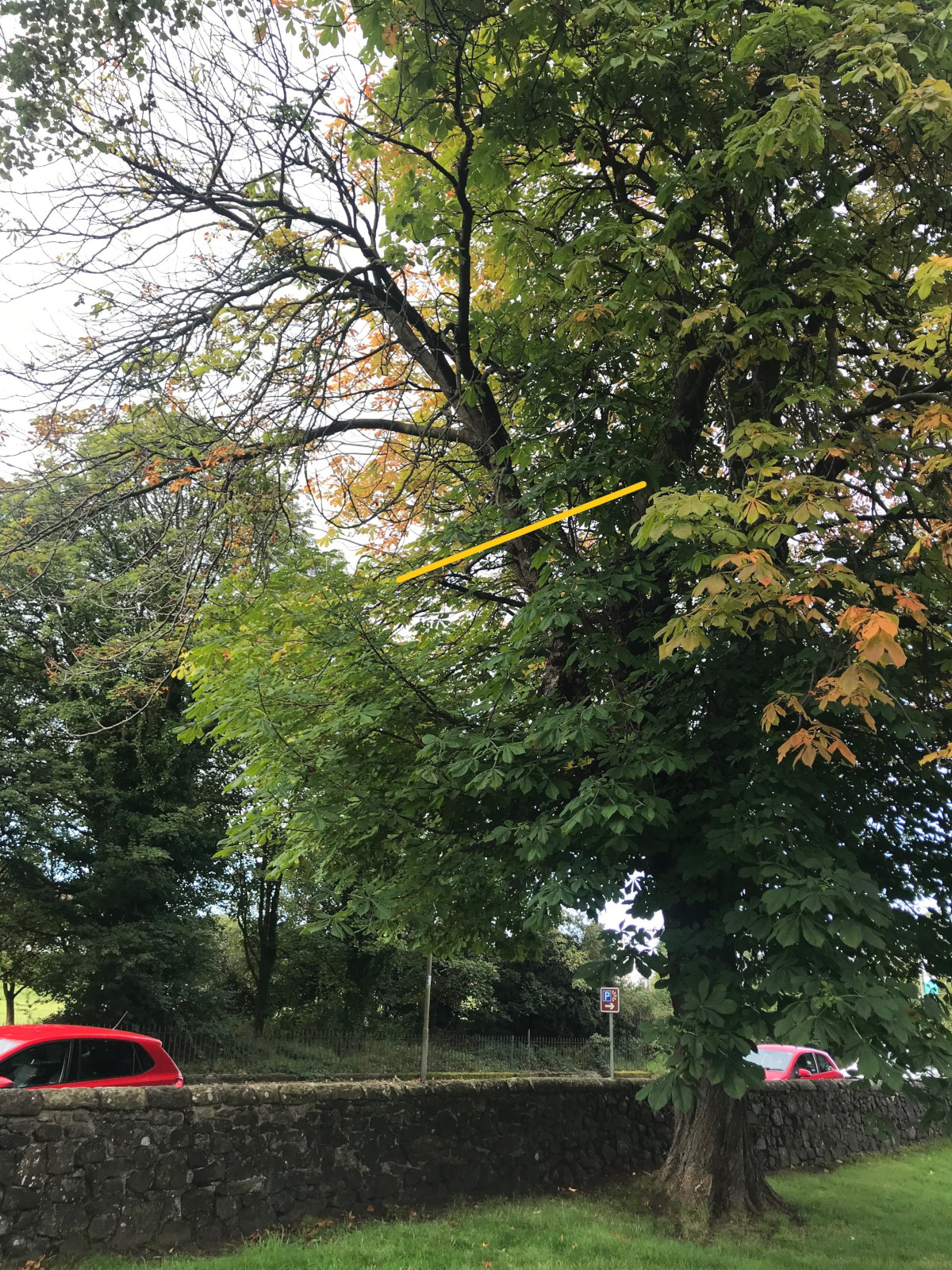 Horse Chestnut Limb removal, Kings Knot